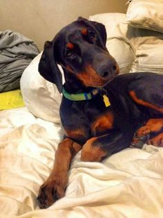The Doberman Pinscher is among the most popular breed of dogs in the world. Known for its intelligence and loyalty, the Pinscher is both a police- favorite Black Doberman, Doberman Love, Baby Puppies, Dogs And Puppies, Big Dogs, Doberman Pinscher Puppy, Doberman Puppies, Dog Eyes, Beautiful Dogs