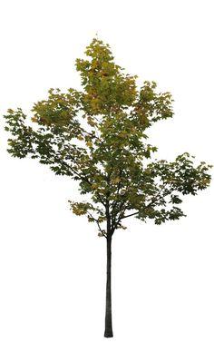 small acer tree 3 - cutout trees