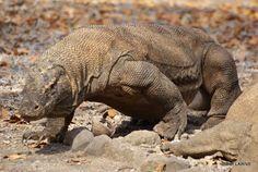 Komodo : le fameux varan !