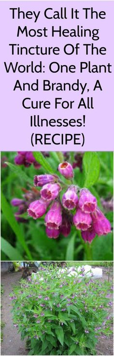 Comfrey contains a hormone auxin, which easily creates new tissue, and therefore wounds heal quickly, and allantoin as the main active ingredient of the roots, promotes granulation and tissue regeneration.#read #recipe #comfrey #plant #cure #nature #natural #medicine #remedy