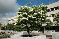 Ivory Silk Japanese Tree Lilac (Syringa reticulata 'Ivory Silk') at Bloomers Garden Center & Landscaping Deciduous Trees, Trees And Shrubs, Japanese Lilac Tree, Landscaping Calgary, Yard Landscaping, Syringa, Silk Tree, Shade Trees, Lilac Flowers