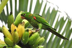 Foto periquitão-maracanã (Psittacara leucophthalmus) por Jussara Gruber   Wiki Aves - A Enciclopédia das Aves do Brasil