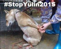 #torture #stopyulin Another year another Yulindogfestival, please stop eating cats and dogs