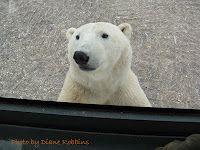 Polar bear looking into our tundra rover