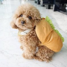 Poodle Dogs 2 years ago i am a HOT dog Animals And Pets, Baby Animals, Cute Animals, I Love Dogs, Cute Dogs, Tea Cup Poodle, Doodle Dog, Dog Costumes, Dog Pictures