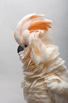 ✮ A Salmon-crested Cockatoo