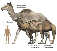 The family Camelidae (camels and llamas) originated in North America at least 44 million years ago. The genus Camelops first appeared during the Pliocene (approximately 4 to 3 Mya) in southern North. Prehistoric Wildlife, Prehistoric World, Prehistoric Creatures, Vida Animal, Jurassic Park World, Dinosaur Art, Extinct Animals, Animal Drawings, Mammals