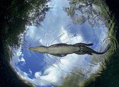 从7米多深的岩洞中拍摄到的鳄鱼特写照片,一只1.5米长的野生鳄鱼从镜头前游过,墨西哥 Mexico 坎昆 Cancun。鳄鱼是现存最大的爬行动物,成年体重可达1吨,主要栖息在热带及亚热带的河流、湖泊和沼泽中。摄影师:Javier Sandoval
