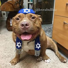 All dolled up with nowhere to go! We were shocked nobody requested Hanukkah Meaty at the holiday open house on Friday, but no worries, his 8 crazy nights are just around the corner!! #hanukkah #meatymonday #meatyapp #fresnobullyrescue #adoptdontshop #pitbull #pitbullsofinstagram #americanbully #bullbreed #bullylife #bully #dontbullymybreed #lovernotafighter #rescue #mydogisfamily #cute #spreadtherumer #funny #monday #dog #dogstagram #instadogs  #instagramdogs #instadog #pitbulladvocate…