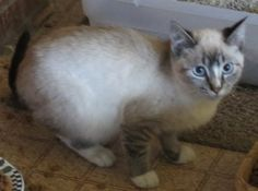 JasonDaniel is an adoptable Siamese Cat in Geneseo, IL. JasonDaniel belonged to the late Jim King along with Silver, Bruno, Archie and Primo and they are currently in foster care. Applications are cur...