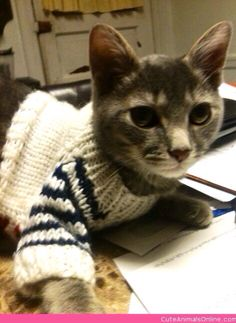 Cat wearing a white sweater with stripes Cat Sweaters, Cat Costumes, Cat Walk, Dog Coats, Pet Clothes, Stripes, Dogs, Cute, How To Wear