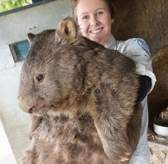 Happy Birthday Patrick the Wombat! This 29 year old is the world's oldest living wombat. Given that Patrick has never had children, or any partners in general, probably makes him the oldest living wombat virgin as well! Animals And Pets, Baby Animals, Funny Animals, Cute Animals, Exotic Animals, Beautiful Creatures, Animals Beautiful, Funny Koala, Koala Meme