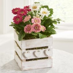 3 delightful gerberas, hand arranged in a pretty white washed crate with heart detail. Guaranteed to bring cheer to any window sill.