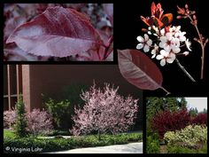 Pictures of purpleleaf sand cherry (Lohr)