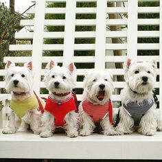 CONGRATULATION 〰〰〰〰〰〰〰〰〰〰 How old is your westie? These four westies age from 7 to 12 years old But still look young and pretty. Double tap if you love them Cr : @miroansal 〰〰〰〰〰〰〰〰〰〰  Please help us to REACH 44K by following @westiegram and TAG your friends on our new posts everyday  Million THANKS ❤ 〰〰〰〰〰〰〰〰〰〰 Keep following @westiegram and pick your best photo with the tag #westiegram  〰〰〰〰〰〰〰〰〰〰 ⚠⚠⚠⚠⚠ Edited by @westiegram ®™