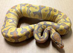 caramel glow ball python