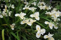 """7 Superstar Plants: These """"Arboretum All-Stars,"""" all tested by UCCE Cooperative Extension advisor Karrie Reid, show superstar qualities in the garden."""