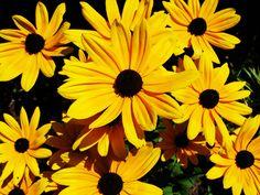Black-eyed Susans -  my wedding flower :)