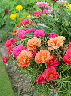 PORTULACA MARGARITA MIXED A sun loving, succulent plant .