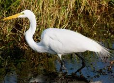 Learn how to identify Great Egret, its life history, cool facts, sounds and calls, and watch videos. The elegant Great Egret is a dazzling sight in many a North American wetland. Slightly smaller and more svelte than a Great Blue Heron, these are still large birds with impressive wingspans. They hunt in classic heron fashion, standing immobile or wading through wetlands to capture fish with a deadly jab of their yellow bill. Great Egrets were hunted nearly to extinction for their plumes in…