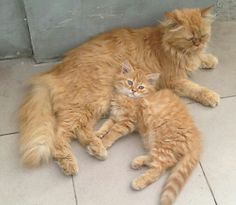 Daughter and mamy, fluffy cats