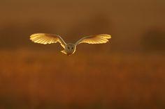 "Barn Owl Tyto alba"" by Nigel Pye"