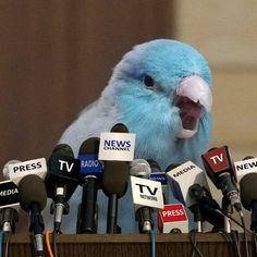 This is a meme haha 😂 _ Funny Animal Memes, Cute Funny Animals, Cute Baby Animals, Animals And Pets, Wild Animals, Funny Birds, Cute Birds, Cockatiel, Budgies