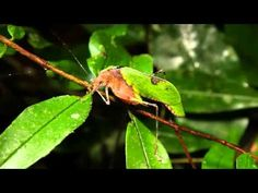 True Facts About The Leaf Katydid by Ze Frank