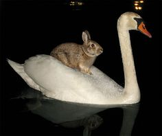 There was a traffic jam last night at Brighton, Michigan's millpond. After midnight, passersby were stopped in their tracks by a swan paddling around the pond with a wild rabbit on its back.  Oh, wait--the date on this blogpost is APRIL 1.  But it is a nice idea.
