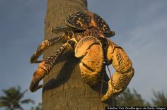 birgus latro: Coconut Crabs:  These are the largest land-living crabs on the planet, can grow up to 3 feet wide and have been known to eat chickens and kittens.  http://www.huffingtonpost.com/2014/10/30/scary-animal-pictures_n_6076918.html?utm_hp_ref=weird-news&ir=Weird%20News