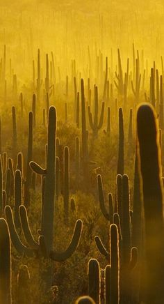 Cacti, Saguaro National Park, Arizona | Are you visiting Saguaro National Park? Take Chimani with you! www.chimani.com | We develop 100% free mobile app travel guides for national parks and other outdoor destinations. No cell connection required! Download our apps for iOS and Android at www.chimani.com or in the App Store or on Google Play