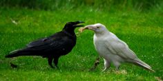 White Wolf : 10 pictures of the extremely rare and legendary creature - the White Raven. The Crow, Quoth The Raven, Raven Bird, Crow Art, Jackdaw, Crows Ravens, Legendary Creature, 10 Picture, Albino