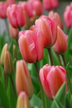Tulipa 'Pink Impression' organic/ekologisk