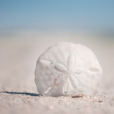 sand dollar - fortunate to find one walking on the beach - made me giddy it's my fav. I have beach themed pottery barn vase full of ocean side shells from beaches I've sunk my toes in. :))))