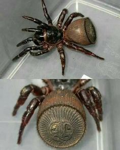 This is the cyclosmis (or trapdoor spider), and its incredible abdomen looks like an ancient coin!