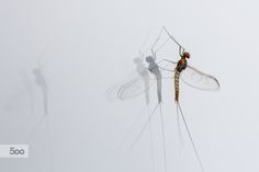 Photograph Cloeon Mayfly on my window by Jivko Nakev on 500px