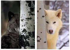 Sacred White Wolf - but do you also see the Black Wolf?