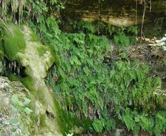 -Hill Country Ferns | Native Plant Society of Texas