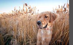 golden retriever. i'd say the best family dog ever. looks like my annie :)