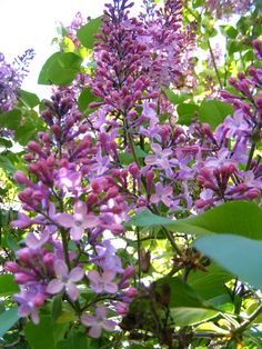 Flowering lilac
