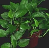 pothos / Scindapsus aureus