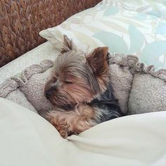 Cute Baby Puppies, Baby Dogs, Cute Baby Animals, Cute Dogs, Dogs And Puppies, Funny Animals, Chien Yorkshire Terrier, Yorky Terrier, Sleepy Dogs