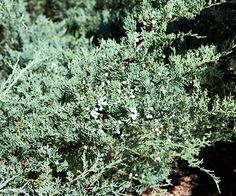 Juniper - Plant Encyclopedia - BHG.com 'Grey Owl' juniper Juniperus virginiana 'Grey Owl' features silvery-gray foliage that turns slightly purple at the tips in winter. It reaches 3 feet tall and 6 feet wide. Zones 2-9
