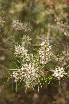 Native Plants, Wild Flowers, Dandelion, Wildflowers, Dandelions, Taraxacum Officinale