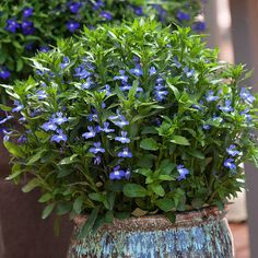 This new lobelia is able to take the heat and bloom all summer long-I need more flowers like this that I can't kill!!
