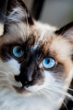 Ragamuffin with translucent blue eyes - so very impressive!