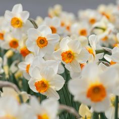 Possible choice for west slope in Welcome Garden. Daffodil Barrett Browning; no other early daffodil has color combination this striking.