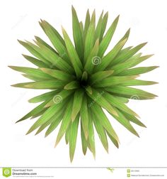 Top View Of Mountain Cabbage Palm Tree Isolated Stock Photos - Image: 26113093