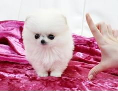 Elegant Teacup Pomeranians, Pomeranian Puppies for Sale, Classy Teacup Puppies Cute Baby Puppies, Kittens And Puppies, Baby Kittens, Cute Dogs, Adorable Babies, Pomeranian Puppy For Sale, Teacup Pomeranian, Teacup Puppies, White Pomeranian