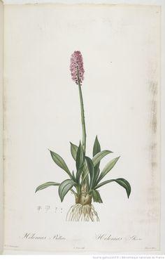 Les Liliacées. Tome 1 / , par P.-J. Redouté | 1802-1816